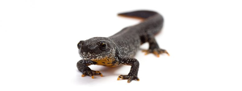 Great Crested Newt