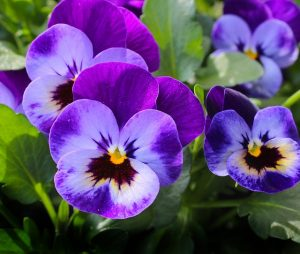 Flowers to attract bees Pansy