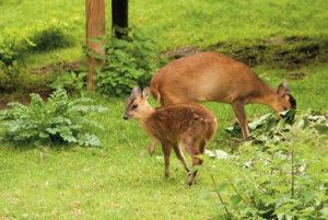 muntjac-deer
