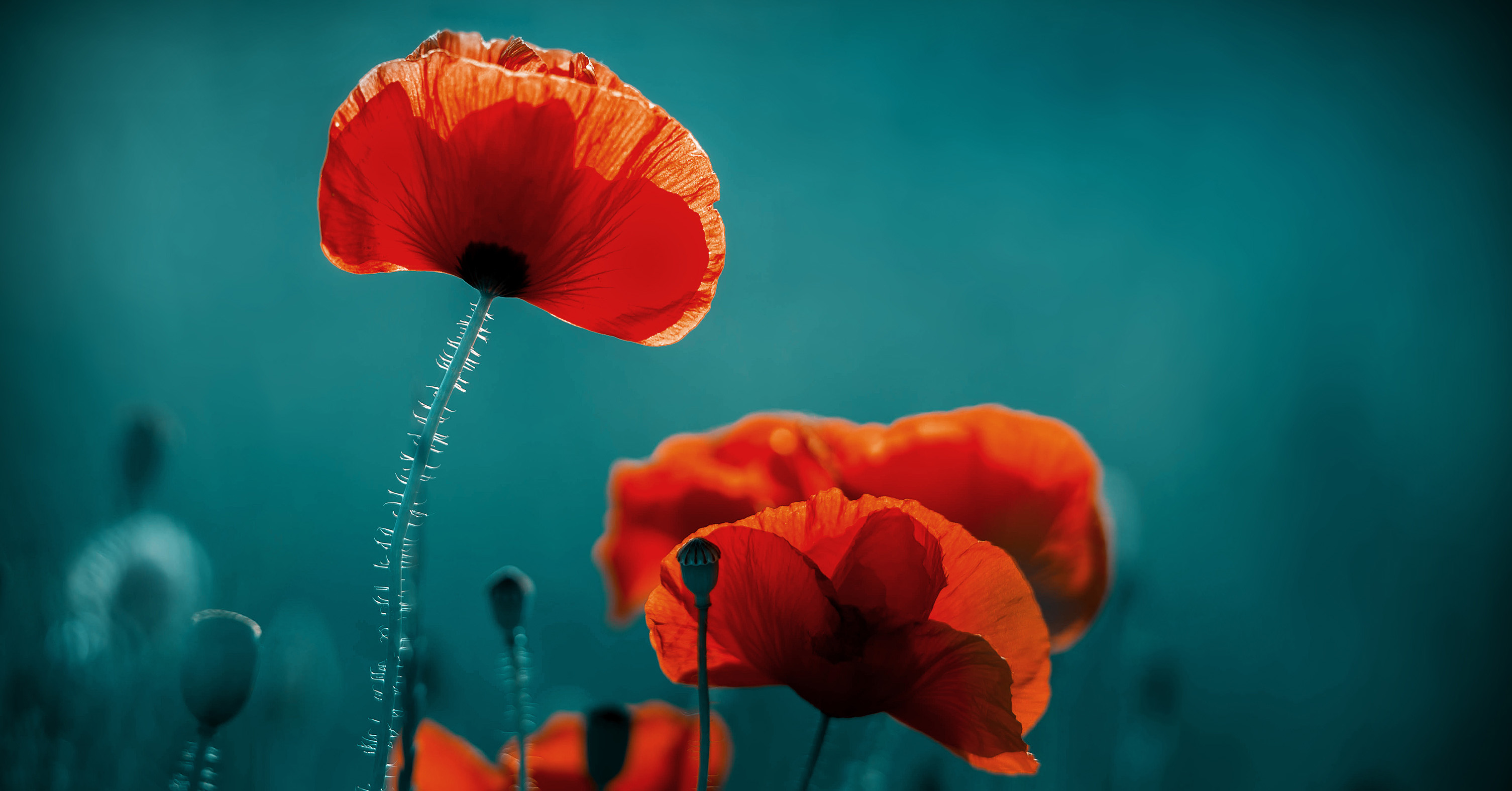 November Poppies Their Poignant History And Interesting Facts