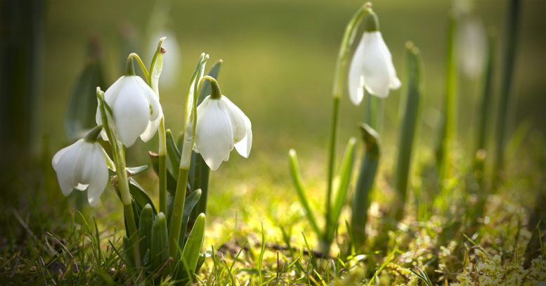 Snowdrops - 10 Surprising Facts