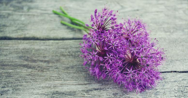 The perennial Allium