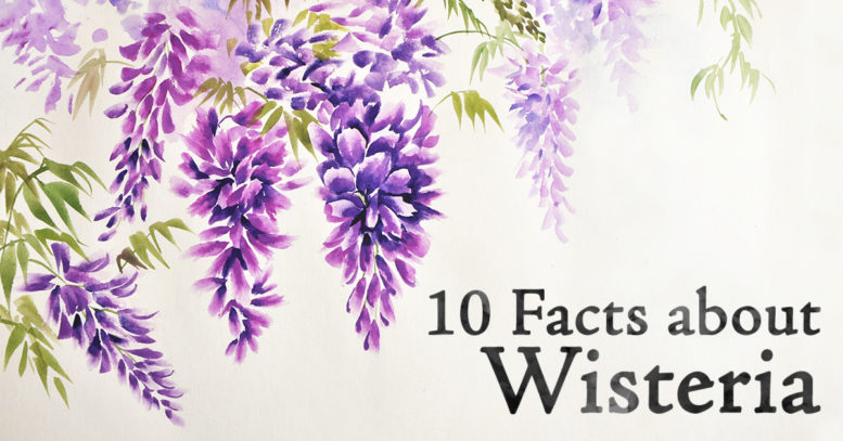 10 Facts About The Beautiful Wisteria Plant Grim S Dyke Hotel